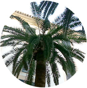 Company for palm weevil treatment